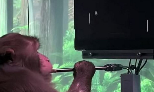 A macaque with a brain implant playing Pong with its neural activity.